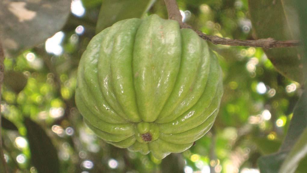 La Garcinia Cambogia